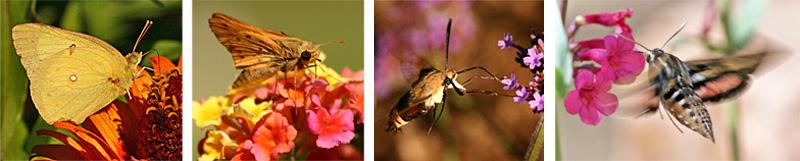 A sulfur on zinnia (L); a skipper on lantana (LC); a hummingbird moth (Hemaris thysbe) at Verbena bonariensis (RC); and a white-lined sphinx moth visits penstemon flowers (R)