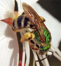 A halitcid bee carrying pollen in a mass on its hind leg