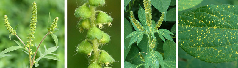 The inconspicuous flowers of ragweed (L and LC) shed enormous amounts of pollen (RC and R)