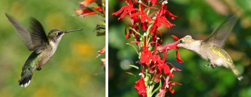Female ruby-throated hummingbirds feeding on Cuphea 'David Verity' (L) and Lobelia cardinalis (R)