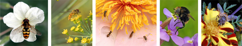 A variety of different syrphid flies on flowers