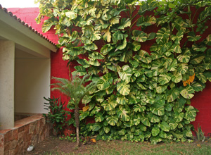 Variegated pothos covering a wall in Mexico.