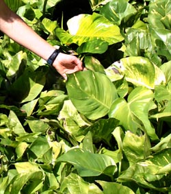 The leaves of pothos grow much bigger as they mature.