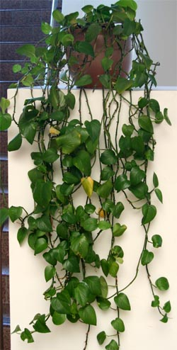 Pothos is a common houseplant.