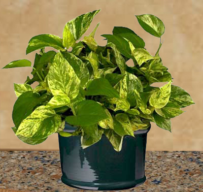 Pothos is easy to grow as a houseplant