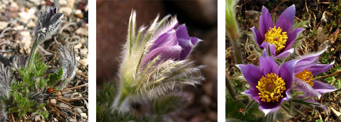 The flowers begin emerging before the leaves come out all the way, and bloom in shades of purple.