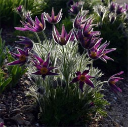 Pasque flower is a low-growing plant.