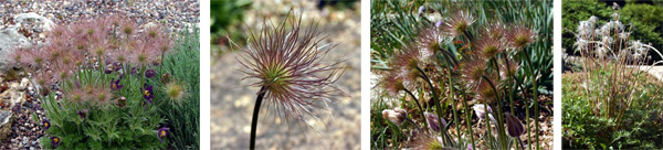 The feathery seed heads are produced and remain on the plant, looking quite ornamental, for several weeks before being dispersed by the wind.