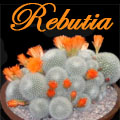 Cactus Gems from the High Andes (Rebutias) Title Image