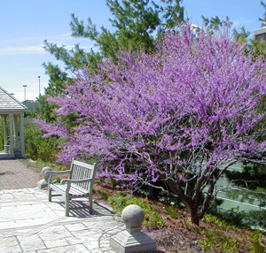 Redbud is one of the first trees to bloom in spring.