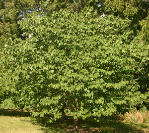 Redbud forms a rounded shape if grown in the open.