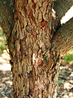 The scaly bark has deep fissures for ornamental interest in winter.