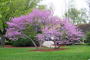 Eastern Redbud Is A Small Tree Commonly Used In Midwestern Landscaping