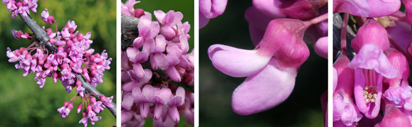 Flowers are produced in dense clusters along the branches (L and LC). Each typical pea-like flower (RC) has five petals and 10 stamens (R).