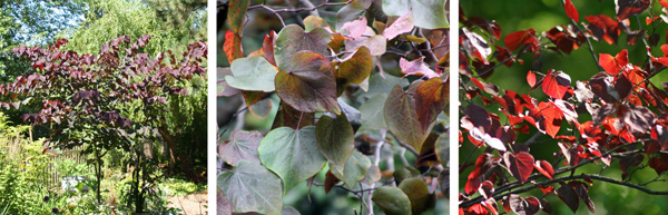 The eastern redbud cultivar Forest Pansy has reddish leaves (L and R) that change to dark green in summer (C).