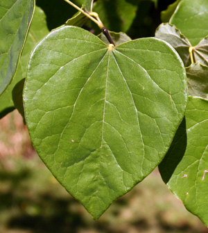The leaves are usually heart-shaped.