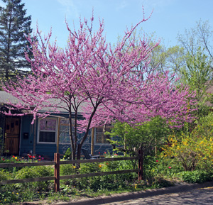Redbud is common in residential landscapes.