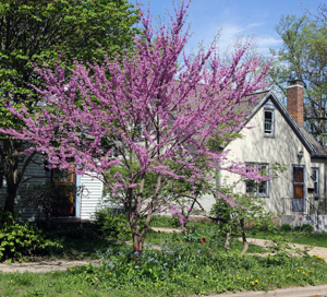 Redbud has few insect pests but is susceptible to some diseases.