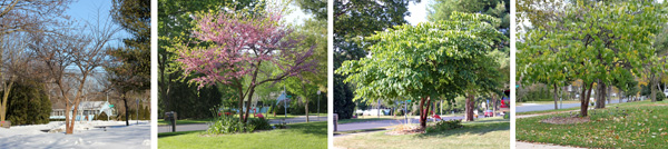 A redbud tree through the seasons: winter (L), spring (LC), early summer (RC) and early autumn (R).