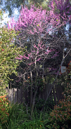 Western redbud in a backyard in California.