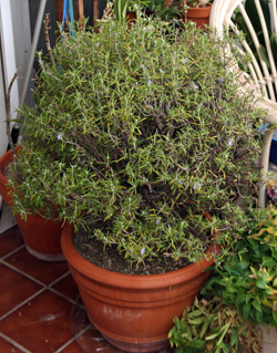 Rosemary shrub in a container.