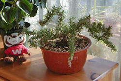 A small training rosemary plant growing indoors.