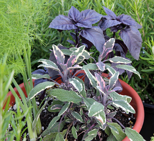Tricolor sage combined with fennel and purple basil in an herb container.