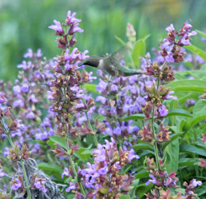 A ruby throated hummingbird feeding from common sage flowers.