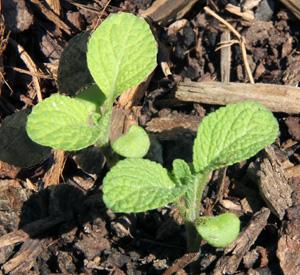 Seedling sage plants.