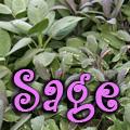 Sage, Salvia officinalis Title Image