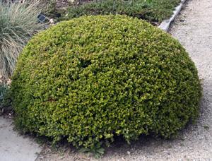 Boxwood has aromatic foliage.