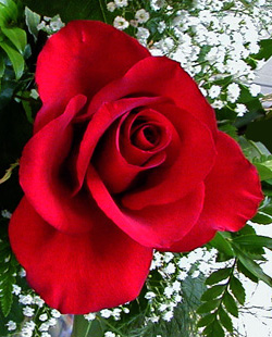 Roses have a distinctive fragrance.