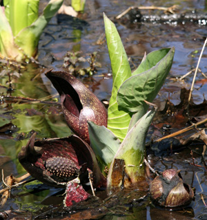 Skunk cabbage produces a stinky odor to lure in flies.