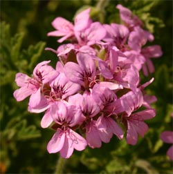 Flowers of a scented geranium.