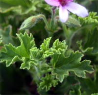 Scented geraniums are grown for their aromatic leaves rather than their small flowers.