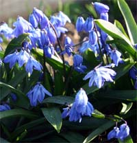 Scilla siberica has either blue or white flowers.