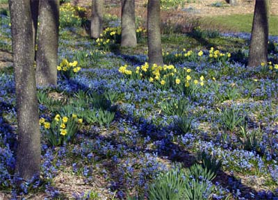 Siberian squill is spectacular when planted in large masses or drifts.
