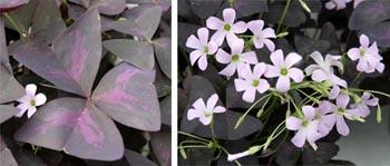Oxalis regnelii 'Atropurpurea'