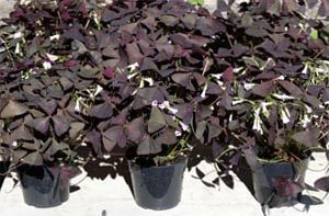 Oxalis species may have green, purple or patterned leaves.