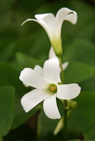 All Oxalis species have 5-petaled flowers on long stalks.