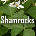 Shamrocks, Oxalis spp. Title Image