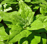 New Zealand spinach.