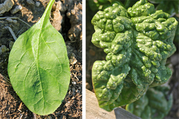 Spinach may have smooth leaves (L) or crinkly (savoy) leaves (R).