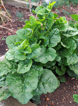 Malabar spinach.