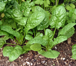 Spinach is a cool-season crop, best grown in spring or fall.