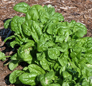 Spinach is a leafy vegetable grown since ancient times.