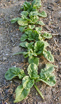 Spinach produces rosettes of leaves.
