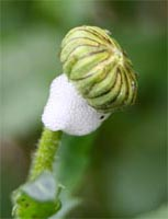 Spittlebug on daisy bud.