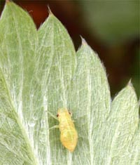 A spittlebug nymph without its froth on a strawberry leaf.