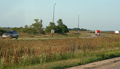 Infestations of teasel are most common along roadways.